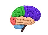 Human Brain Sections Clipart Image, TheTemplateWizard